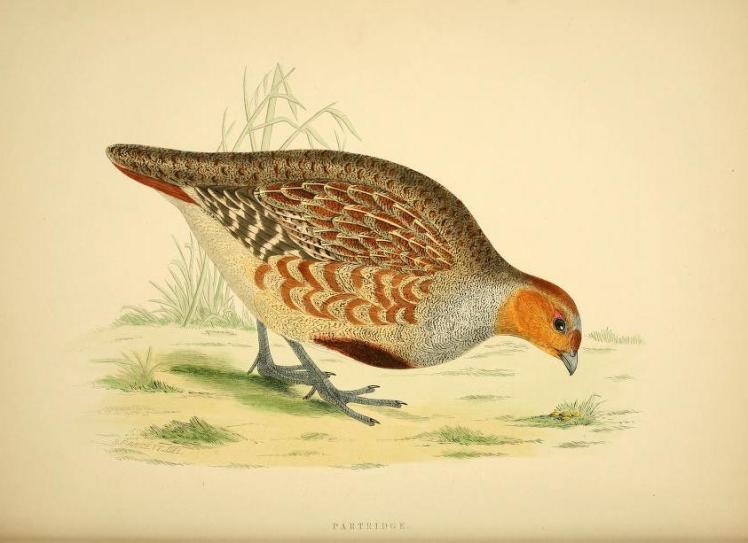 britishgamebirds00morr_0088