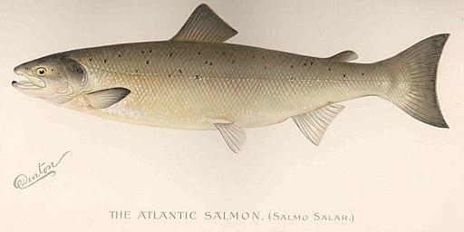 FMIB_42997_Atlantic_Salmon_(Salmo_salar)