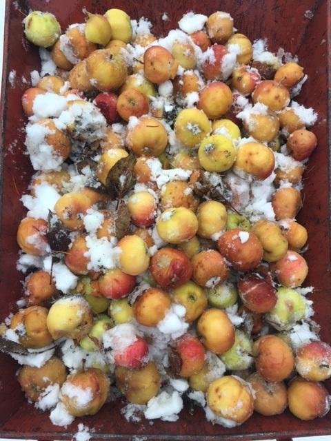 Late apple harvest, 2019_IMG_7655